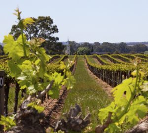 Light Pass Vineyards | RED by Caroline Dunn