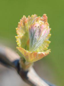 Spring Budburst | Kurtz Vineyard | Barossa Valley
