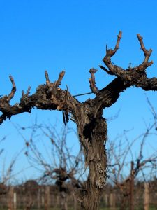 Pruning | Shed Block Shiraz | Kurtz Vineyard | Barossa Valley