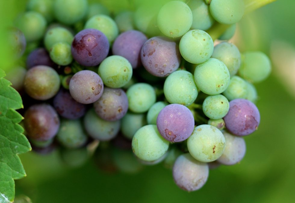 Veraison Kicks Off in Barossa Shiraz